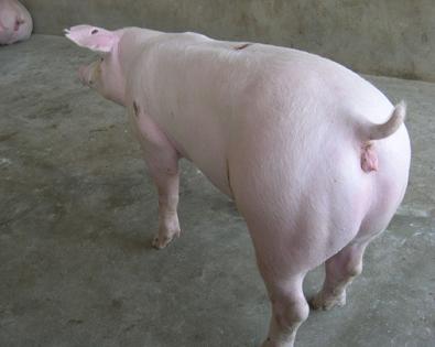 比系长白母猪