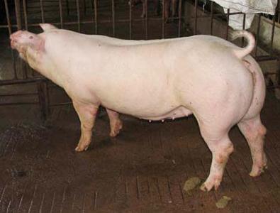 美系大白母猪