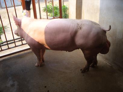 英系大白公猪